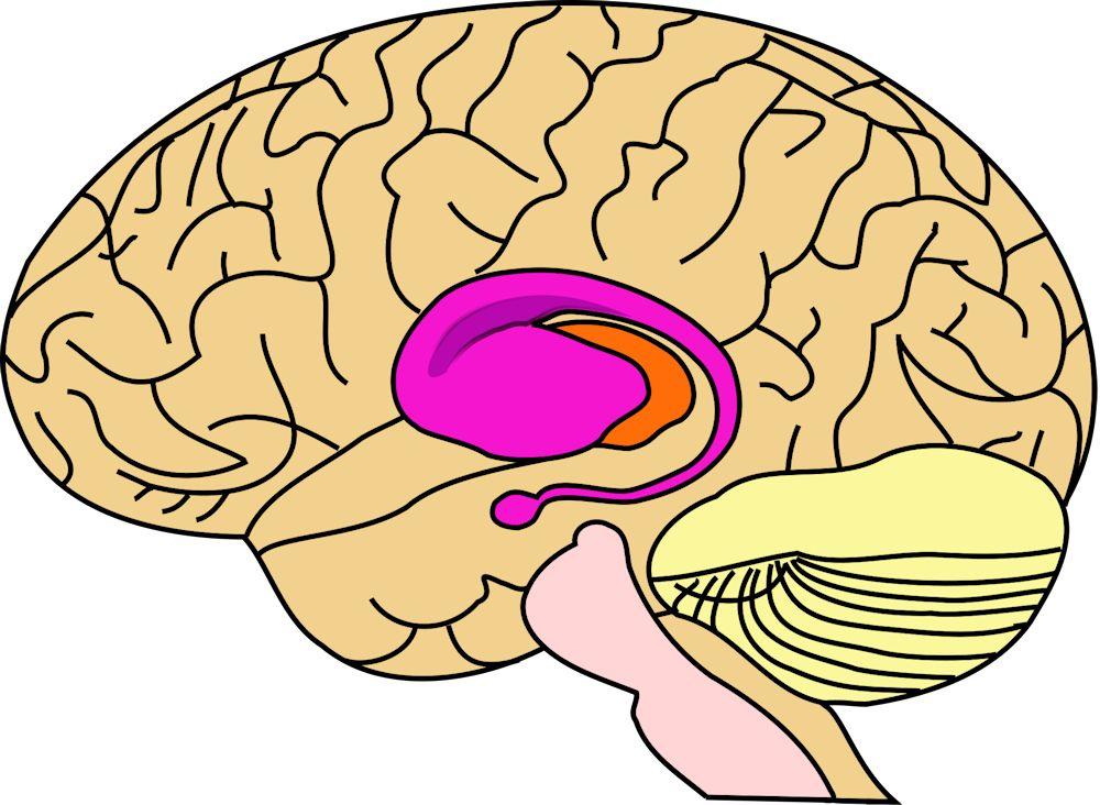 1000px-BrainCaudatePutamen